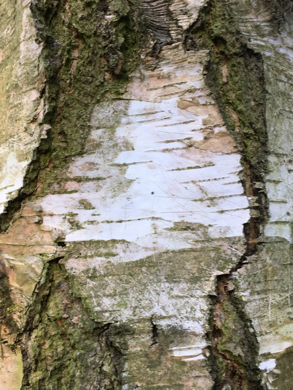 bark of silver birch tree